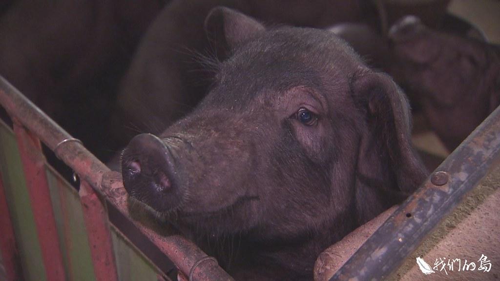 999-1- (28)身披黑毛,大而下垂的耳朵,充滿皺褶的皮膚,台灣黑豬有著特殊的外觀。