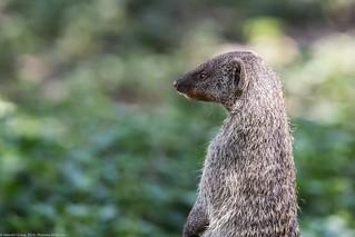 manguste Serengeti sep18_06_med | by Valentin Groza