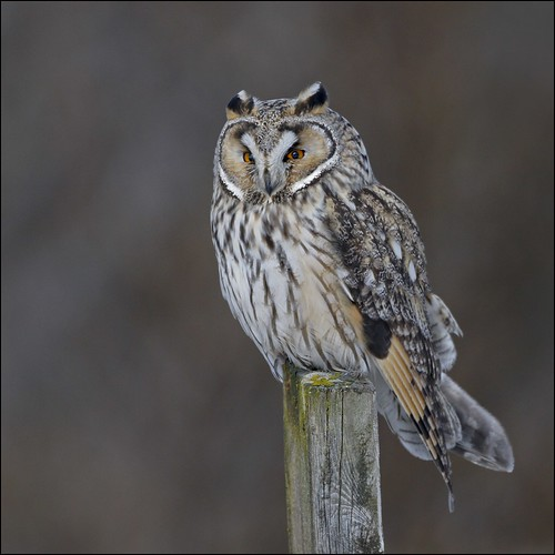 Eyrugla - Long-eared Owl - Asio otus