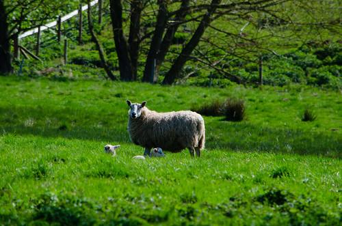 Comfortable spot: lambs, Worfield
