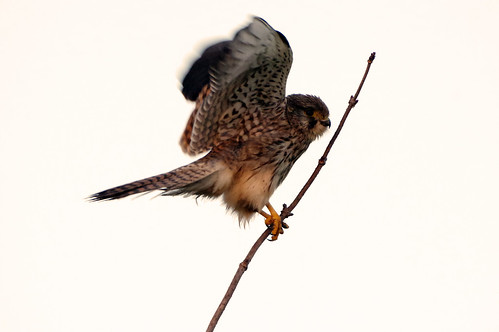 burwellfen cambridgeshire nationaltrust kestrel falcotinnunculus wild bird wildlife nature