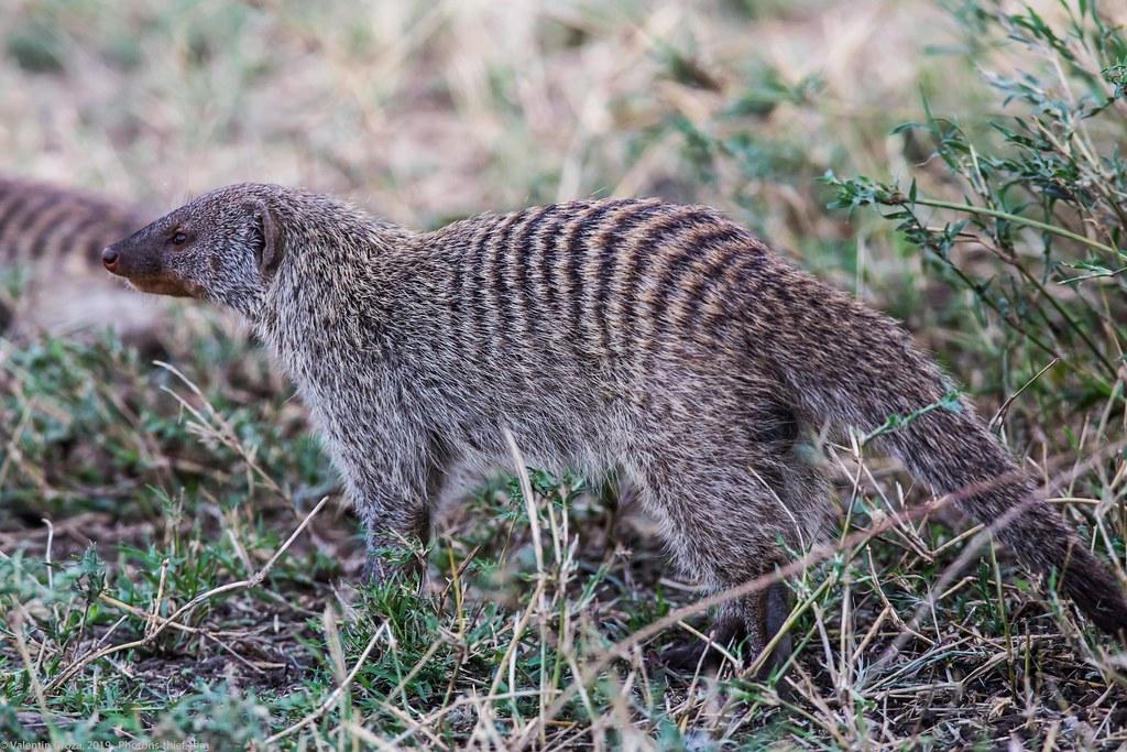 manguste Serengeti sep18_03_med