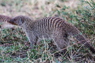 manguste Serengeti sep18_03_med | by Valentin Groza