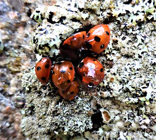 Ladybirds cling to lichen on a stone that has stood in Aberdeenshire for over 4,500 years | by Lorn Dey (Lena the Hyena)