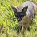 Santa Cruz Island Fox by Tigershadoww