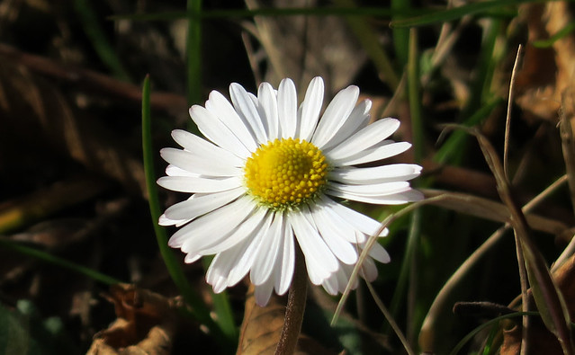 The first daisy