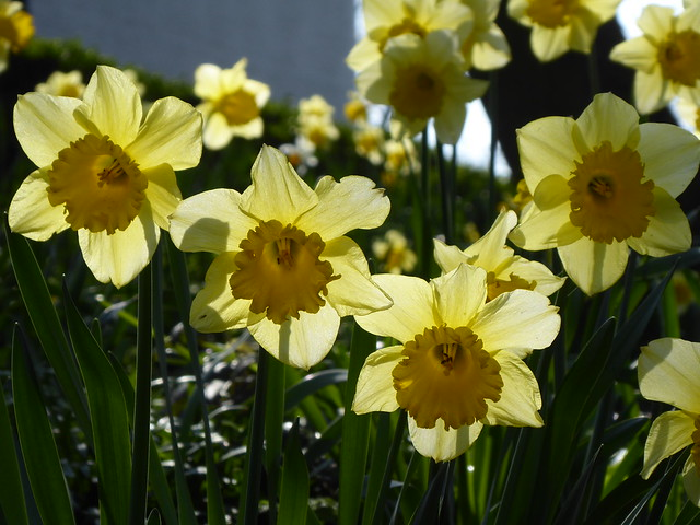 Daffodils, Roundhay Park, Leeds