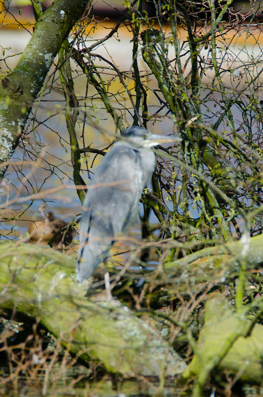 Young heron stretching a wing, West Park