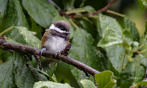 Chestnut Back Chickadee