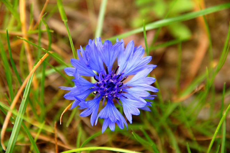 Blue Cornflower(矢車菊)