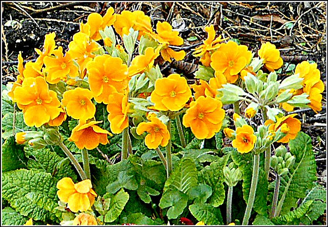 Yellow Primroses ..
