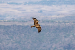 Black kite - Milvus migrans-1-2