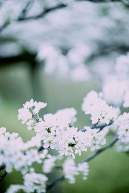 DSC04929 李 Prunus salicina