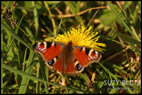 Peacock butterfly | by suzypud