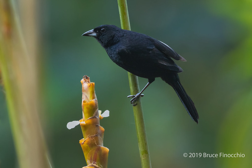 Male White-lined Tanager Pauses In His Feeding