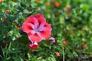 Geranio francés #flower #garden #spring #iosphoto #nofilter #soloseviveunavez #viveydejavivir | by Vorete