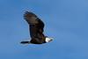 Bald Eagle by Shore Birder