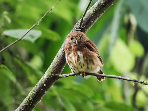 Cloud-forest Pygmy-Owl | by nickathanas
