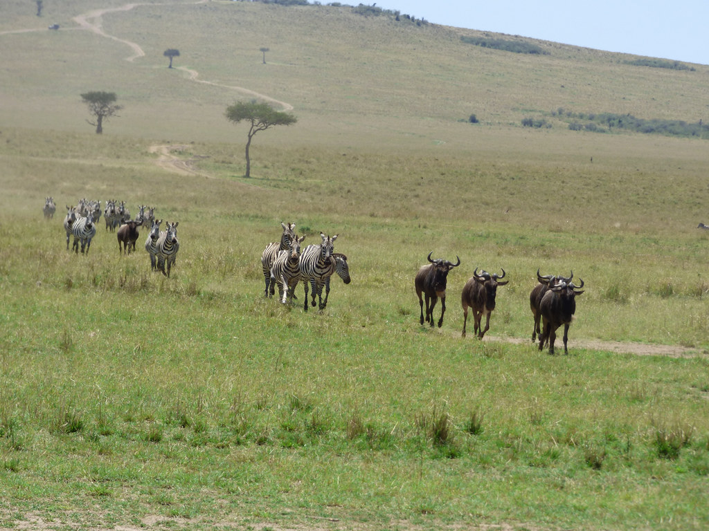 Migrating blue wildebeest and zebras charging toward river, Masai Mara