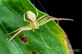 Crab spider (Henriksenia sp.) - DSC_0407