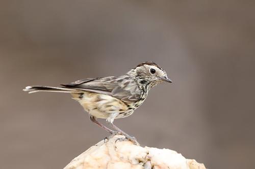 Speckled Warbler ((Pyrrholaemus sagittatus)