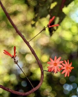 Passiflora spinosa (Passifloraceae, subgenus Astrophea)