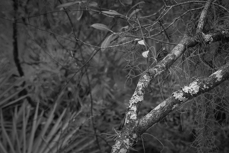 lichen-covered branches, leaves, palm fronds, Atlantic Center for the Arts, New Smyrna Beach, FL, Nikon D3300, Sigma 18-50mm f-2.8 EX DC MACRO, 2.2.19