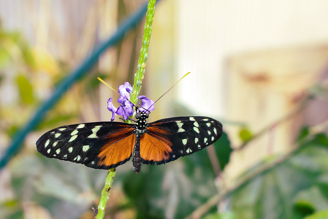 Heliconius--Tiger Longwing