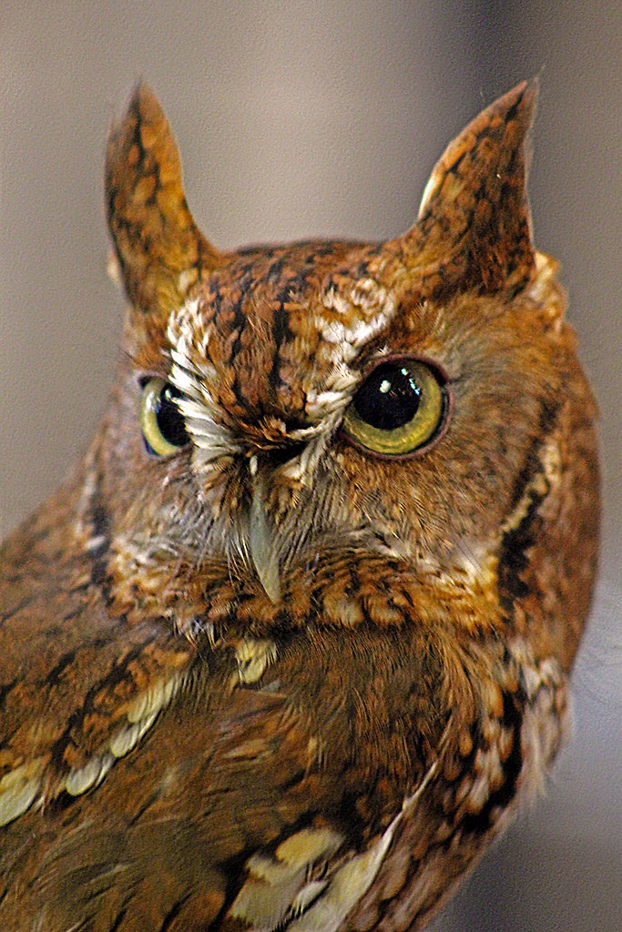 2019.03.09 Sunrise Wildlife at WBU Eastern Screech Owl Ruby 1