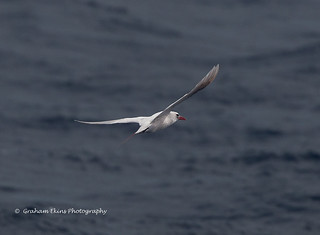 Red-tailed Tropicbird, Norfolk Island, Phaethon rubricauda, | by Graham Ekins
