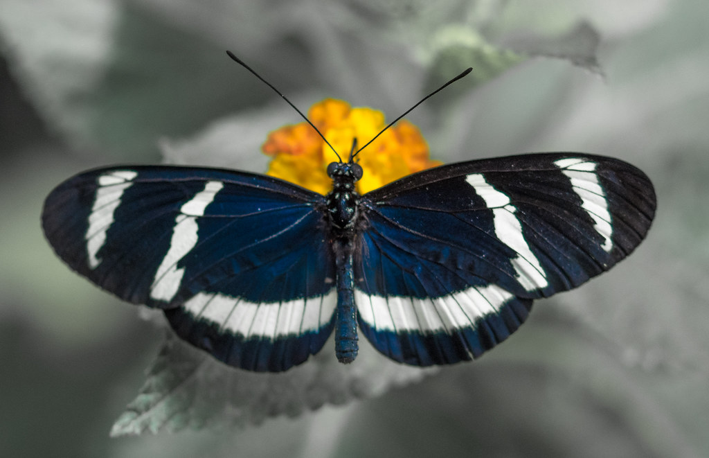 Hewitson's Longwing Butterfly, Heliconius Hewitsoni