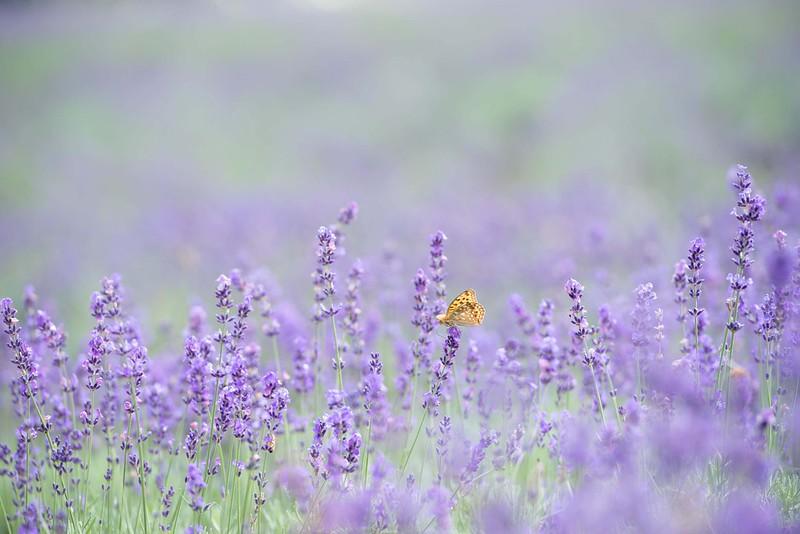 Обои butterfly, flowers, bokeh, lavender, lavender field картинки на рабочий стол, раздел цветы - скачать