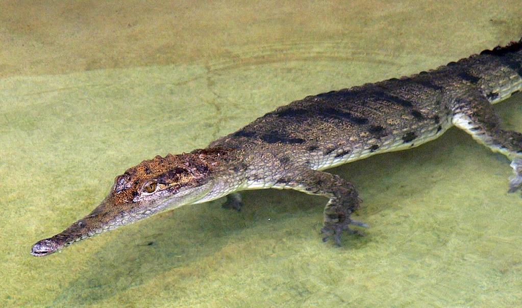 Australien-Krokodil (Crocodylus johnsoni) P1050119