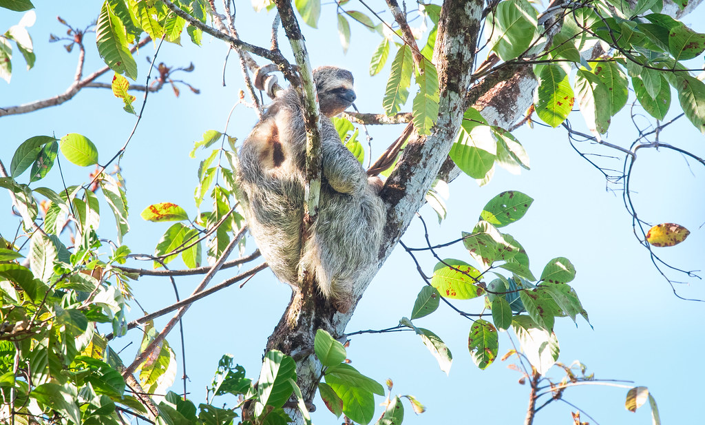 Brown-throated sloth