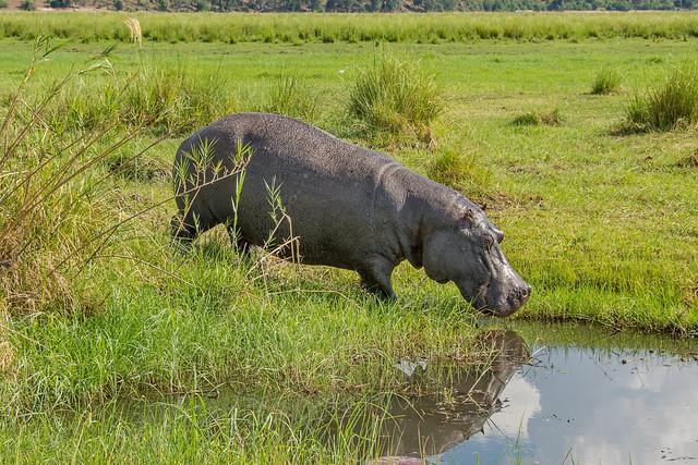Обыкновенный бегемот, Hippopotamus amphibius, Hippopotamus