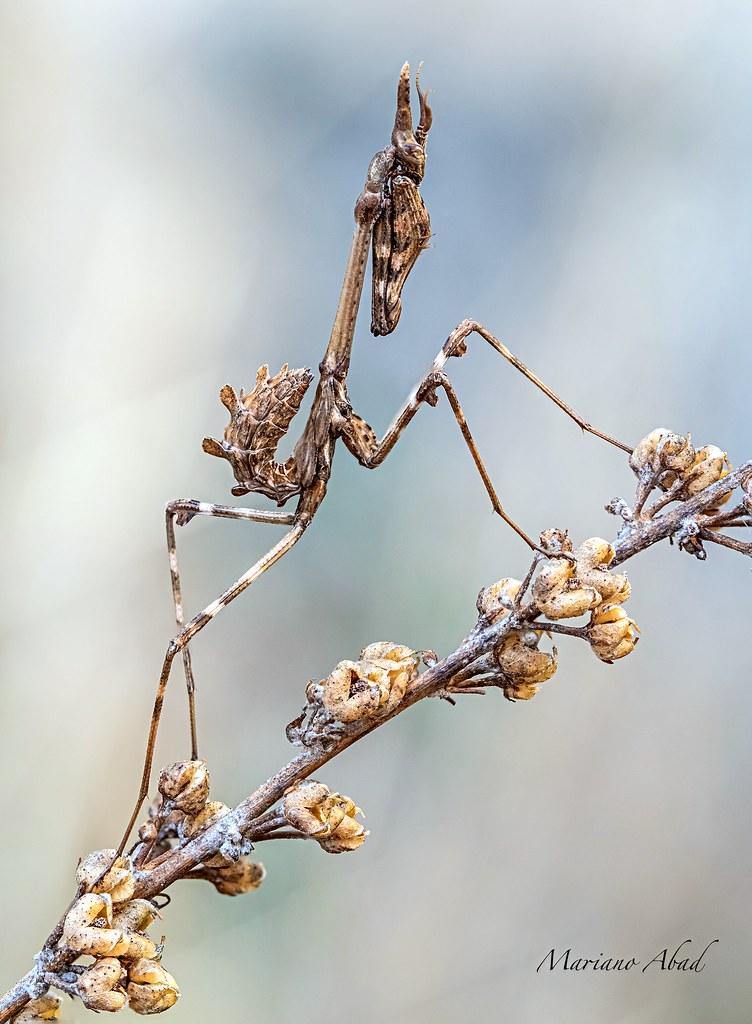 Mantis  Empusa pennata.  Sierra de Guadarrama
