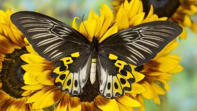 Kupu-kupu Troides-Hypolitus