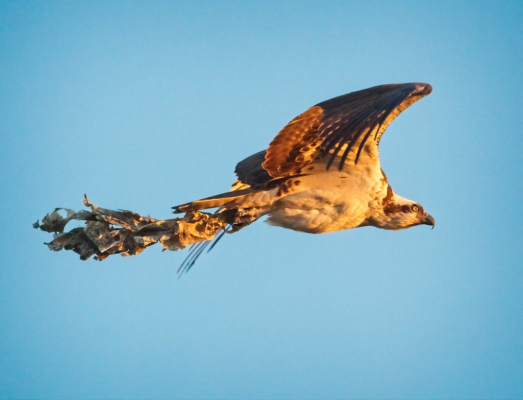 Osprey taking out the trash