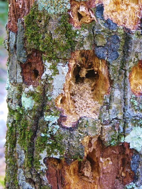 Old worn pine tree 2753