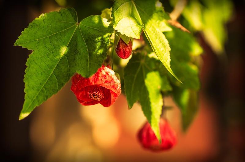 Обои Весна, Spring, Цветение, Боке, Bokeh, Красные цветы, Flowering, Абутилон, Red flowers, Abutilon картинки на рабочий стол, раздел цветы - скачать