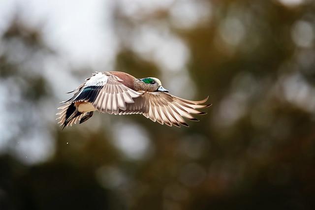 Widgeon Flight...