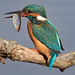 kingfisher by supersabre69