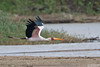 Yellow-billed Stork, Mycteria ibis by Kevin B Agar