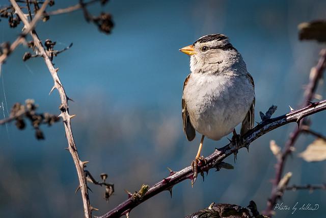 White-crowned Sparrow, Las Gallinas Ponds