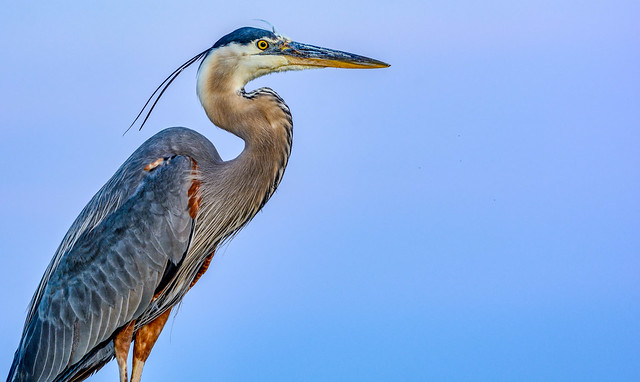 Our Local GBH (Great Blue Heron)