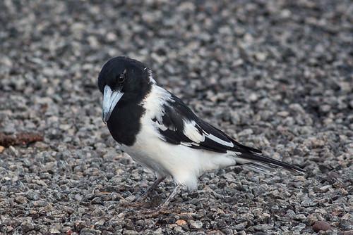 Pied Butcherbird   by steve happ
