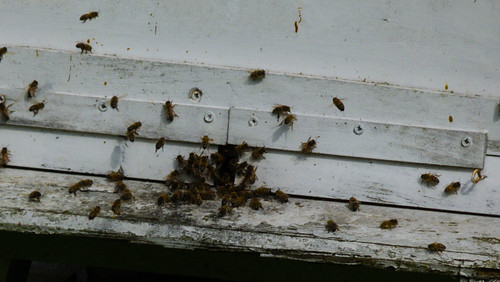 First flight of the morning: honeybees