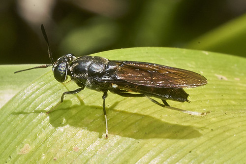 Female Black Soldier Fly _DSC6512 | by Mike G Gordon
