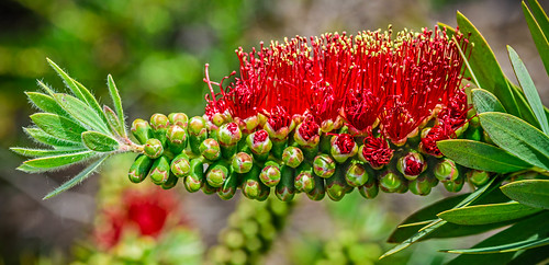 Birth of the Bottlebrush | by FotoGrazio