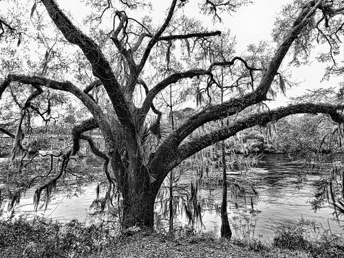 oak liveoak spanishmoss river suwanneeriver fanningsprings florida monochrome blackandwhite bw cmwblackandwhite